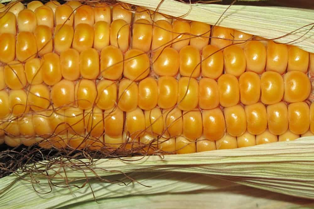 Trading Corn
