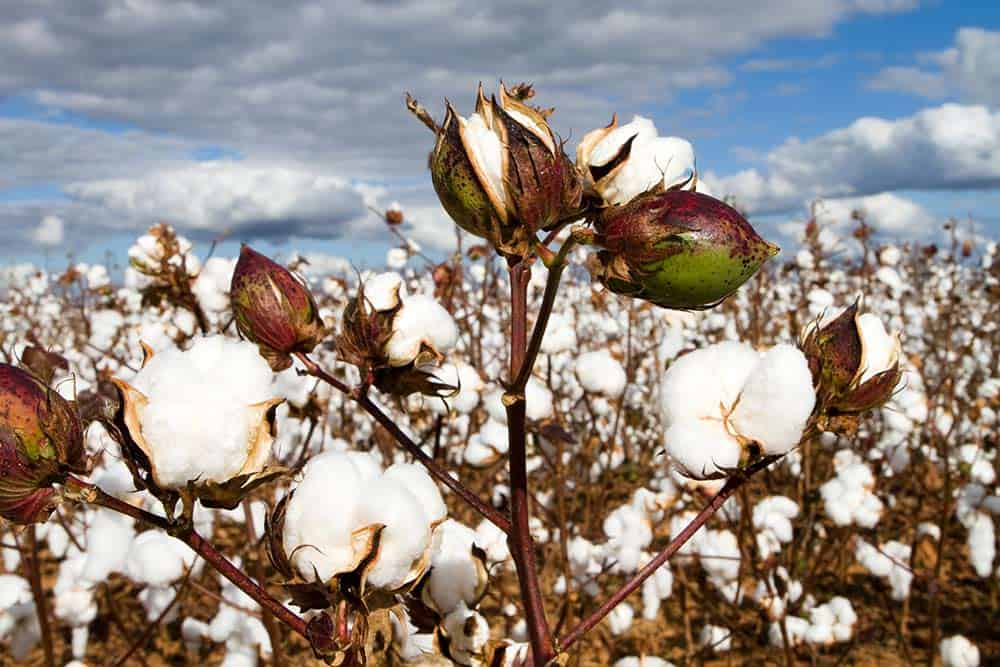 China's cotton dema
