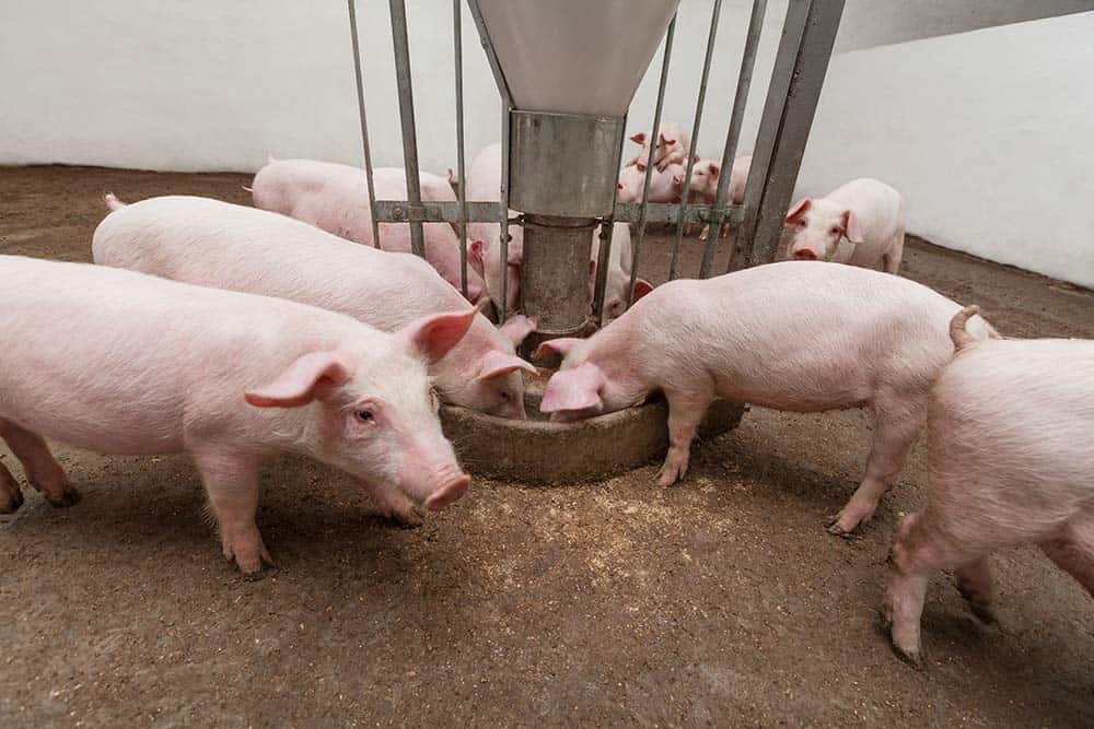 Bacon Shortage