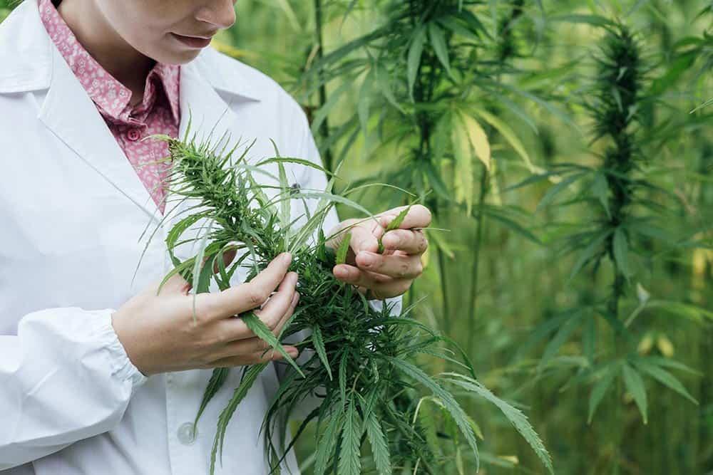 Marijuana Production