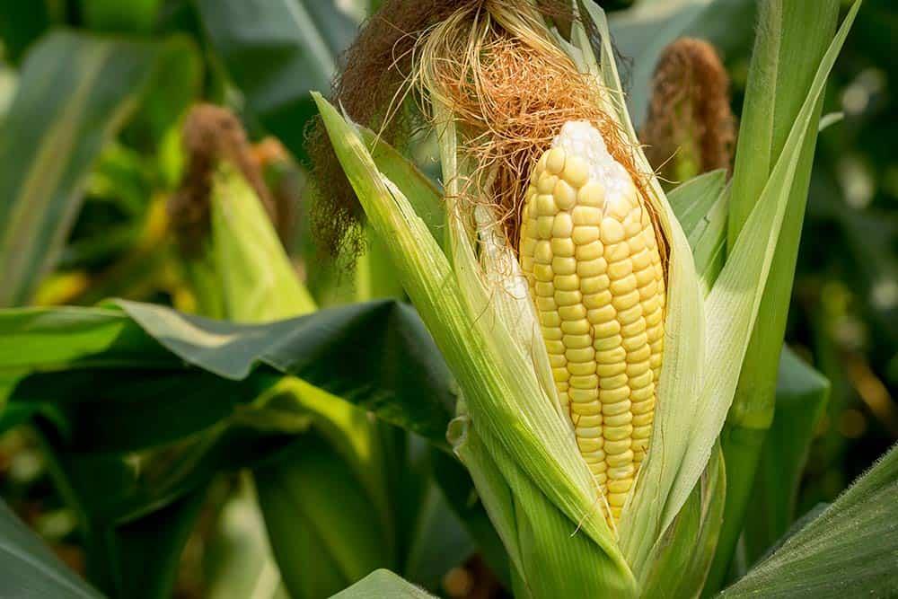 U.S corn farmers